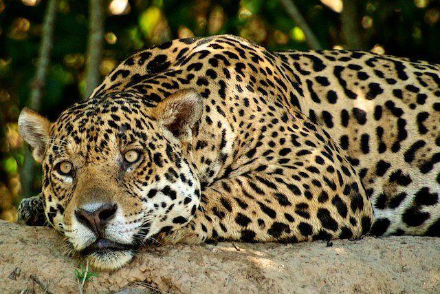 jaguar in Pantanal, obiective turistice Brazilia