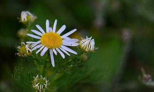 plante terapeutice